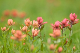 Nature_Landscapes_IndianPaintbrush
