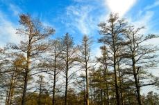 Nature_Landscapes_TallTrees