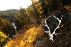 Nature_Landscapes_YellowstoneElk