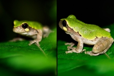 Nature_Wildlife_Bird-VoicedTreefrog