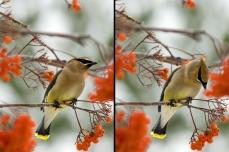 Nature_Wildlife_CedarWaxwing2