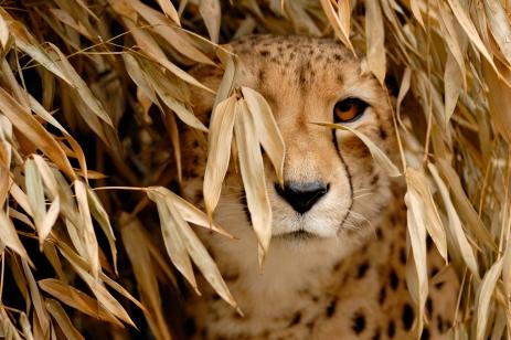 Nature_Wildlife_Cheetah1