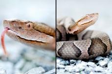 Nature_Wildlife_Copperhead