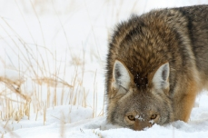 Nature_Wildlife_Coyote