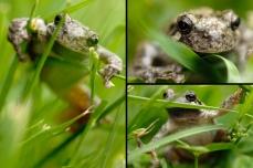 Nature_Wildlife_GrayTreefrog