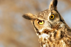 Nature_Wildlife_HornedOwl