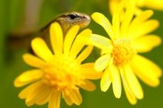 Nature_Wildlife_LittleBrownSkink