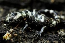 Nature_Wildlife_MarbledSalamander
