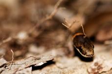 Nature_Wildlife_Ring-neckedSnake
