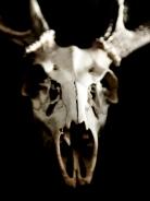 Personal_Stilllife_DeerSkull